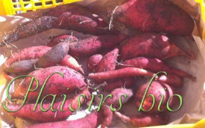 Comment planter et récolter des patates douces bio en jardinière