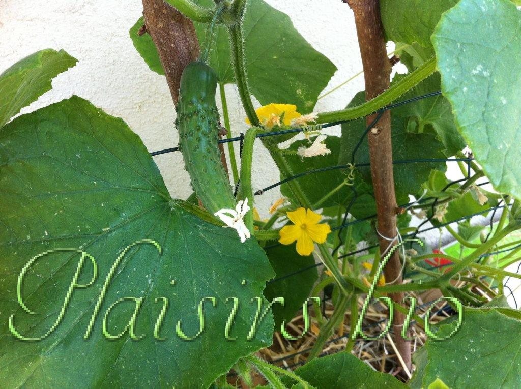 Plantation de concombres bio en pot ou en jardinière