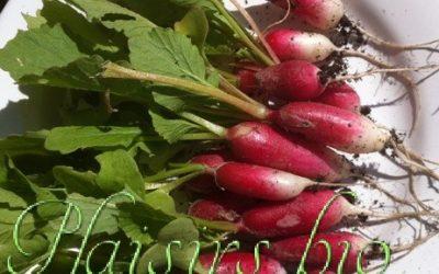 Semer et récolter les radis bio en pot