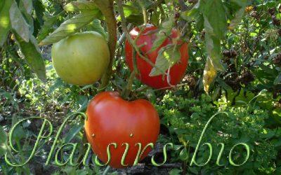 Semer des graines de tomates bio