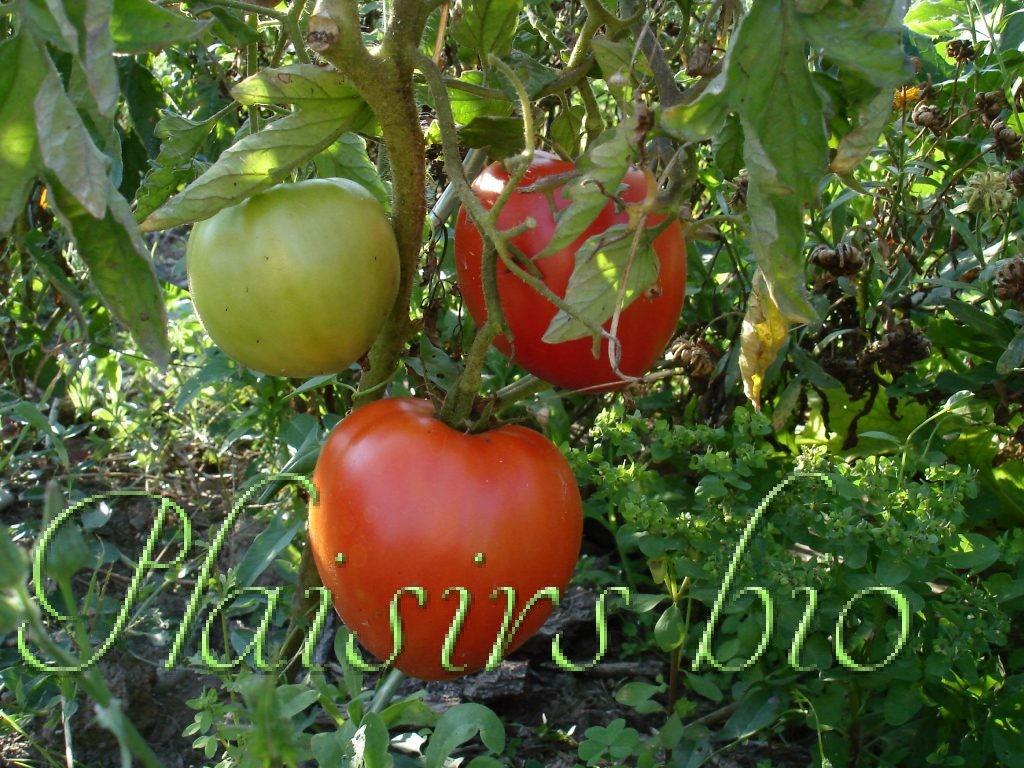 semer des graines de tomates bio. Black Bedroom Furniture Sets. Home Design Ideas